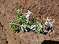 Starr-051202-8525-Pellaea ternifolia-habit-Science City-Maui (24554603060).jpg