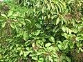 Starr-061108-9609-Charpentiera obovata-habit-Hoolawa Farms-Maui (24774984561).jpg