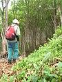 Starr-090521-9230-Fraxinus uhdei-habit with Forest-Polipoli-Maui (24589027139).jpg