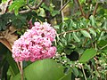 Starr-090623-1680-Lagerstroemia indica-pink flowers and leaves-Hana-Maui (24336541144).jpg