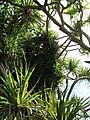 Starr-091104-0721-Canavalia cathartica-climbing in hala-Kahanu Gardens NTBG Kaeleku Hana-Maui (24619693969).jpg