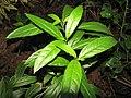 Starr-110209-0708-Cestrum nocturnum-leaves-Resort Management Group Nursery Kihei-Maui (24956284192).jpg