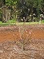 Starr-110222-1652-Prunus persica var persica-Florida Prince flowering habit-Olinda-Maui (24958534992).jpg