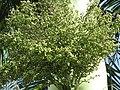 Starr-110330-3799-Roystonea regia-green fruit-Garden of Eden Keanae-Maui (25080750655).jpg