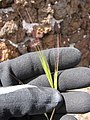 Starr-110515-6580-Bromus diandrus-seedhead-Science City-Maui (24468393293).jpg