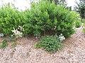Starr-110621-6287-Lippia micromera-flowering habit-Hawea Pl Olinda-Maui (25070984686).jpg