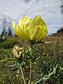 Starr-111129-1556-Argemone mexicana-flower-Polipoli-Maui (25002386142).jpg
