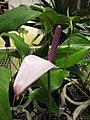Starr-120522-6570-Anthurium andraeanum-purple flower-Iao Tropical Gardens of Maui-Maui (24517086043).jpg