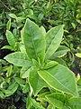Starr-120620-7487-Camellia sinensis-leaves-Kula Agriculture Station-Maui (24518921843).jpg