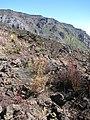 Starr-140630-4677-Senecio vulgaris-seeding habit-Sliding Sands HNP-Maui (25217834556).jpg