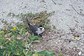 Starr-990518-0813-Verbesina encelioides-with greyback tern-Eastern Island-Midway Atoll (23900117953).jpg