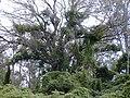 Starr 010726-0103 Anredera cordifolia.jpg