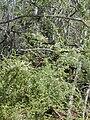 Starr 011025-0017 Anredera cordifolia.jpg