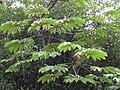 Starr 031118-0039 Cecropia obtusifolia.jpg