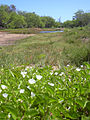 Starr 040403-0041 Jacquemontia ovalifolia subsp. sandwicensis.jpg