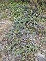 Starr 050519-6807 Heliotropium anomalum var. argenteum.jpg