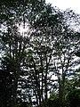 Starr 061212-2321 Falcataria moluccana.jpg