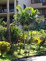 Starr 070124-3808 Chrysalidocarpus lutescens.jpg