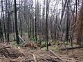 Starr 070908-9213 Sequoia sempervirens.jpg