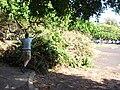 Starr 080422-4278 Ficus microcarpa.jpg