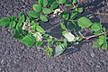 Starr 990119-3228 Rubus niveus f. a.jpg