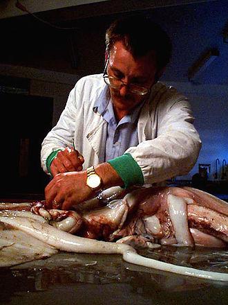 Steve O'Shea - Steve O'Shea dissecting a 30-kilogram giant squid in 1999