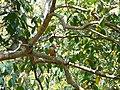 Stork-billed Kingfisher - Pelargopsis capensis - P1030544.jpg