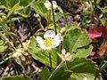 Strawberry flowers. Berries coming very soon. (27271206472).jpg