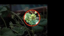 File:Strawberry growth (Video).webm