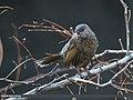 Streaked Laughingthrush (Trochalopteron lineatum) (25356498974).jpg