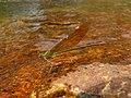 Stream Glory Female from Valparai Anamalai hills P1120027.JPG