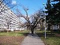 Strom v chodníku, pohled od ulice Za invalidovnou (01).jpg