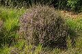 Struikhei (Calluna vulgaris). Locatie, Stuttebosch in de lendevallei. Provincie Friesland.jpg