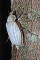 Sugar Cane White Grub Beetle (Lepidiota stigma) (8676201524).jpg