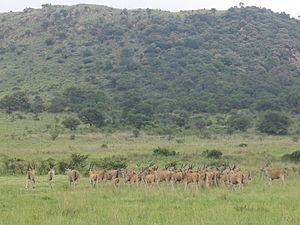 Suikerbosrand Nature Reserve - Suikerbosrand Nature Reserve - eland