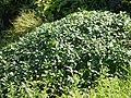 Supushpa scrobiculata (Dalzell ex C.B.Clarke) Suryan. (21243290063).jpg