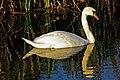 Swan on the Mardike - geograph.org.uk - 577364.jpg