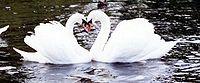 пара лебедей образует сердце, только лебеди не так распространены как сердечки
