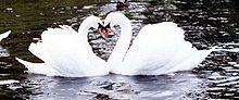 coppia di cigni che forma un cuore al loro centro.
