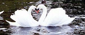Cygnes (amoureux?) formant un cœur ♥