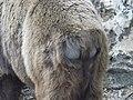 Syrian brown bear hybrid rear 02.jpg