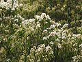 Syzygium zeylanicum (5658660116).jpg
