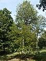 Széchenyi-liget, flora, 2019 Szentes.jpg