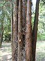 Taiwania flousiana - Kunming Botanical Garden - DSC02761.JPG