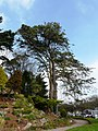 Tall trees, Oldway mansion, Paignton - geograph.org.uk - 696652.jpg
