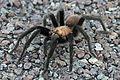 Tarantula - Flickr - GregTheBusker (7).jpg