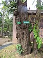 Terminalia chebula - Myrobalan - WikiSangamotsavam 2018, Kottappuram, Kodungalloor (1).jpg