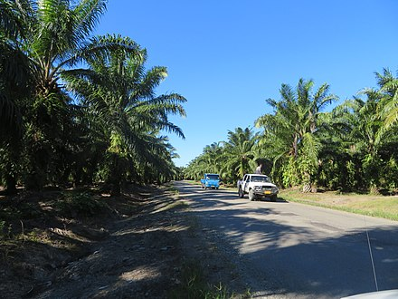 Plantation of oil palms near Tetere on Guadalcanal