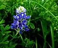 Texas Blue-Bonnet -- Lupinus.jpg