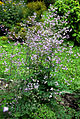 Thalictrum delavayi Prague 2014 2.jpg